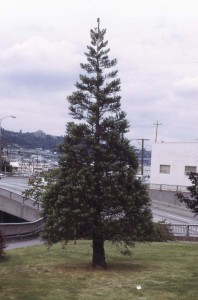 Sequoia on Aurora before being transplanted, 1972
