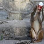 Swayambu monkey drinking coke