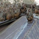 Monkey Congress on backside of Pashupathi